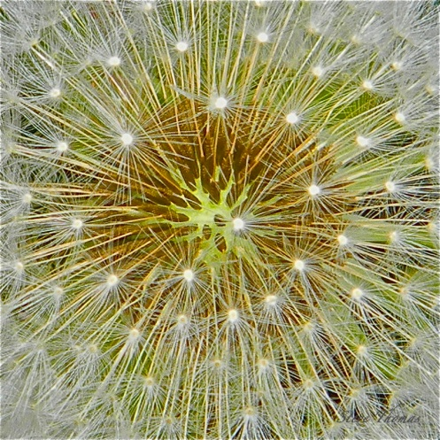 Dandelion Seed Pod - Original