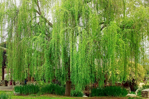 WEEPING WILLOW - DESCANSO GARDENS 3-5-16 (1)